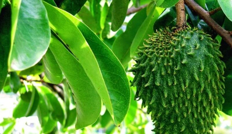 manfaat daun sirsak bagi kesehatan tubuh cara konsumsinya